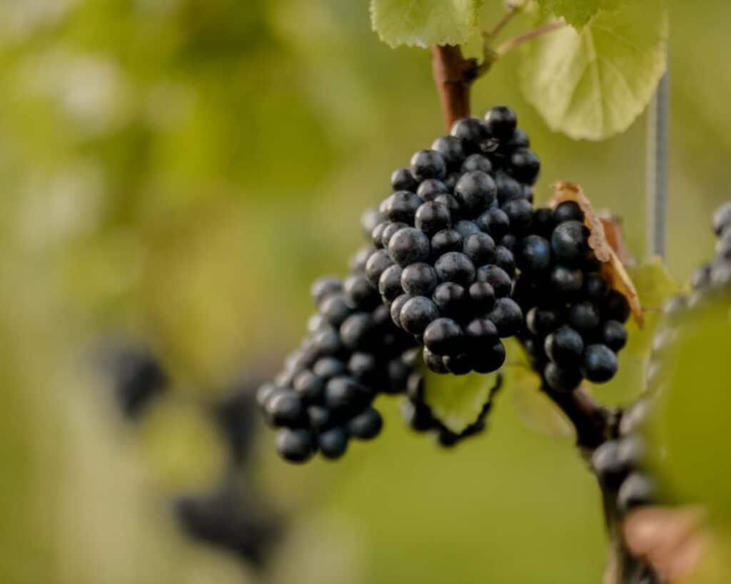Pinot Noir on the vine at Oastbrook Estate