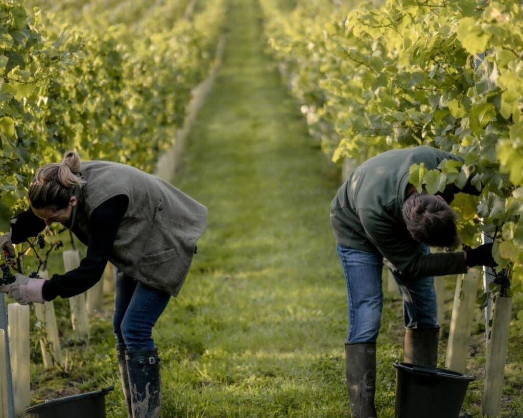 Working on the 2020 harvest at Oastbrook Estate